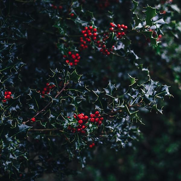 Tradiciones de Nochevieja: muérdago