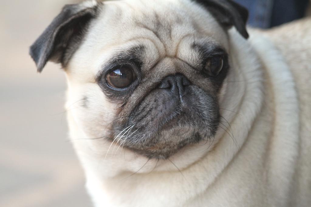 Jimena-carlino-el solfa amarillo-dog-lovely-pets-artorga-descalzaporelparque