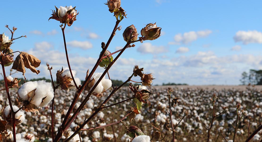 moda sostenible algodon organico