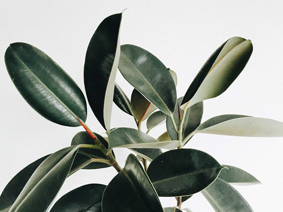 ficus-decoracion-mamatrendy