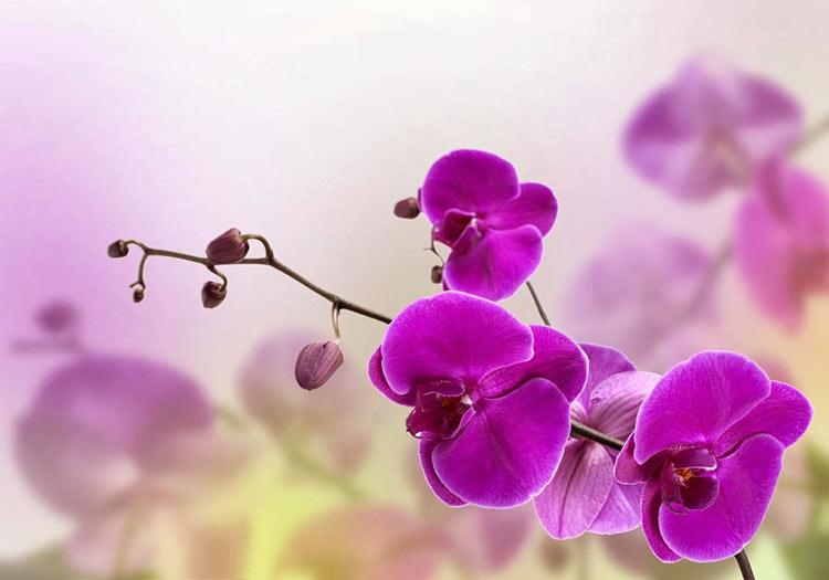 Orquídea Radiante-403-winelovely