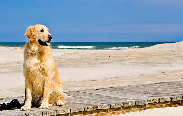 Un Golden retriever descansa en la playa